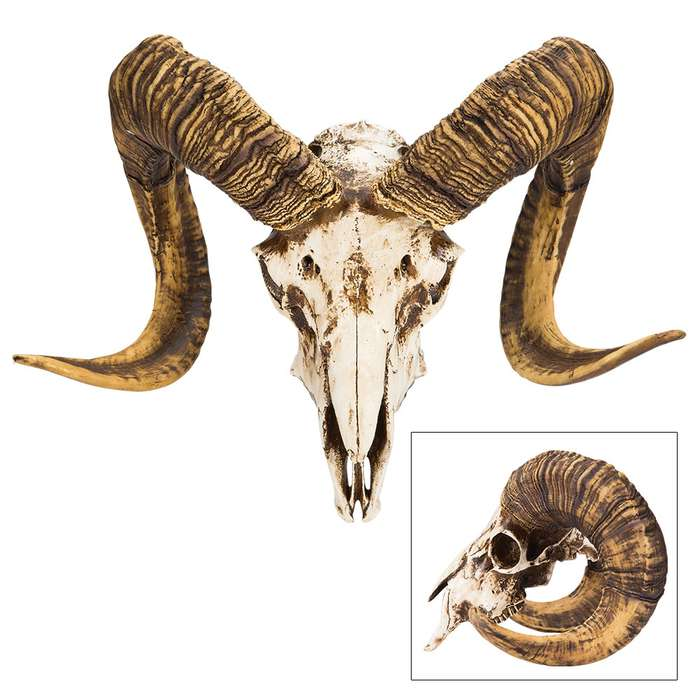 "Bighorn Sheep Ram Skull Replica - Life Sized, Authentic Anatomical Details - Cold Cast Polyresin - Large Curled Horns - Home Decor, Collectible, Teaching Tool - 16 1/8"" W x 11 4/5"" H x 8 1/4"" D"
