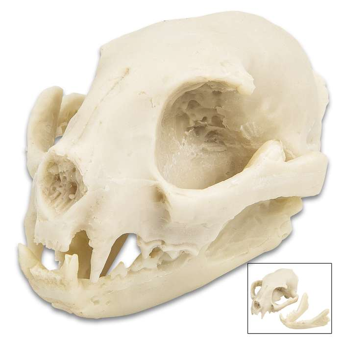 """Replica Bobcat Skull - Crafted Of Resin, Modeled After Genuine Skull, Highly Detailed, Two Pieces - Approximately 3 1/4""""x 2 1/2"""""""