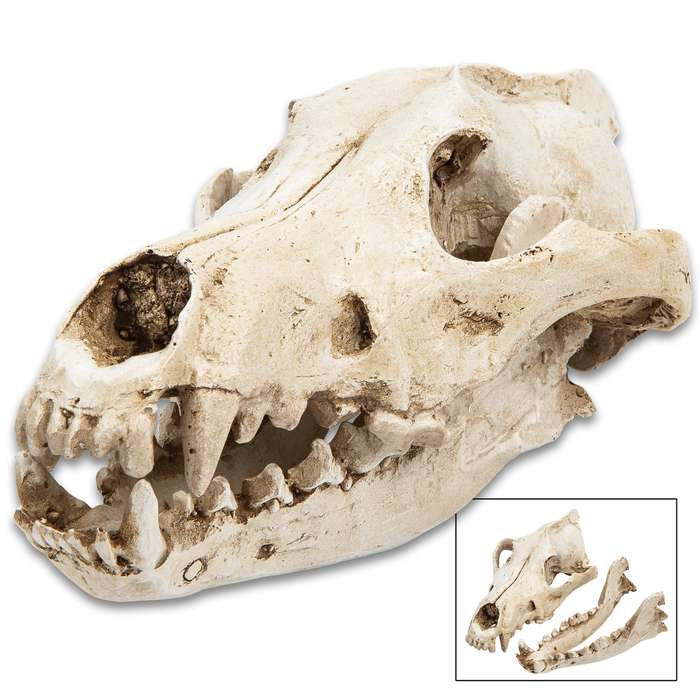 """Replica Timber Wolf Skull - Crafted Of Resin, Modeled After Genuine Skull, Highly Detailed, Two Pieces - Approximately 8 1/2""""x 5 1/2"""""""