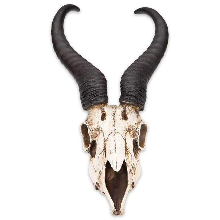"African Springbok Antelope Skull Replica - Life Sized, Authentic Anatomical Details - Cold Cast Polyresin - Large Horns - Home Decor, Collectible, Teaching Tool - 16 15/16"" H x 8"" W x 5 9/10"" D"