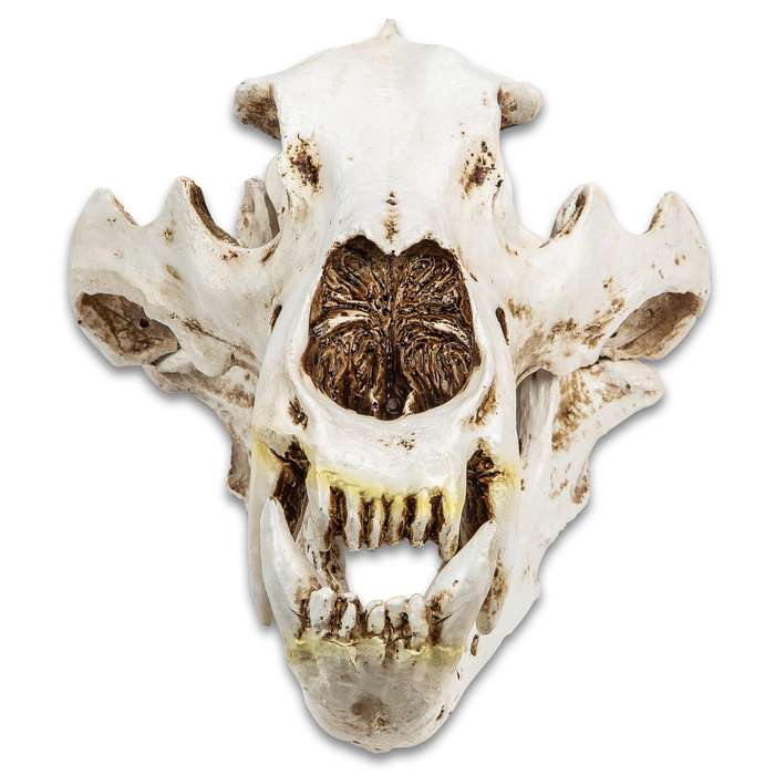 "Replica Polar Bear Skull - Crafted Of Resin, Modeled After Genuine Skull, Highly Detailed, Two Pieces - Approximately 17""x 9"""