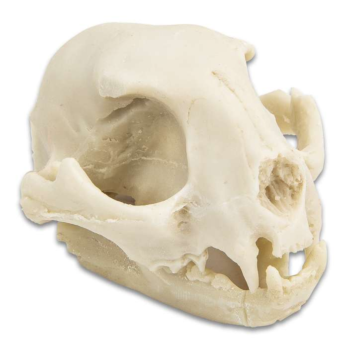 "Replica Bobcat Skull - Crafted Of Resin, Modeled After Genuine Skull, Highly Detailed, Two Pieces - Approximately 3 1/4""x 2 1/2"""
