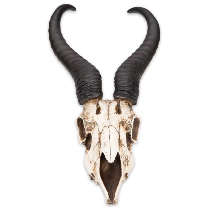 African antelope skull